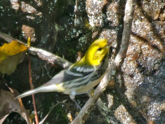Black-throated Warblers are migrating through the Valley,