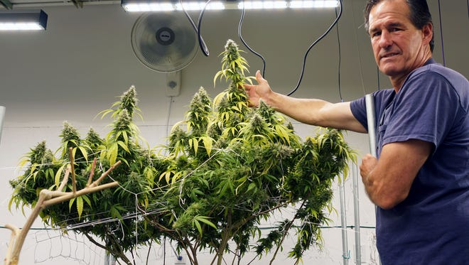 Maine marijuana grower Tom Albert shows off his plants this summer at his grow operation outside Portland, Maine. Like many growers, Albert is considering whether to transition to sell recreational marijuana or remain solely a medical-marijuana supplier.