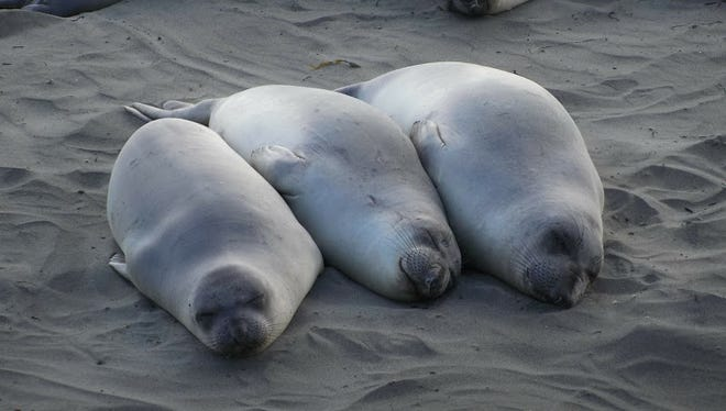 Elephant seals at rest in SLO CAL.