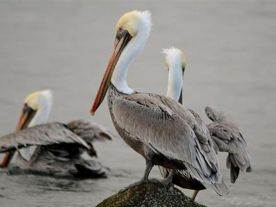 Help count brown pelicans on Saturday night.