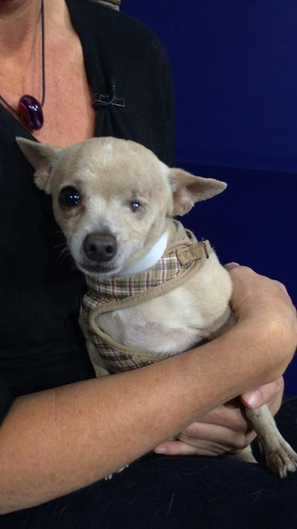 Tommy, a 2-year-old Chihuahua mix needs a forever home.