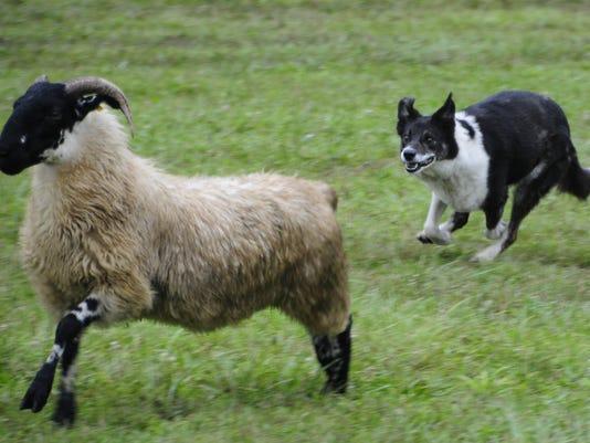 636677769087692490-sheepdog10.jpg