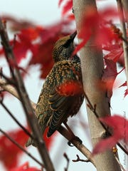 A European starling adds contrast to crimson leaves. The North American population descended from 100 set loose in New York's Central Park in the early 1890s. After several attempts the species took off and today, more than 200 million range from Alaska to Mexico.