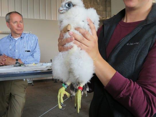 Peregrine falcon eyas Letchworth.