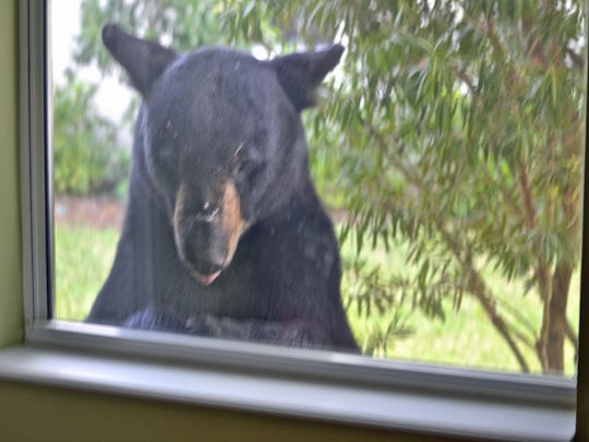 This file photo was provided by the Buccheri family of Ave Maria, who saw this bear appear at their window shortly before Florida Fish and Wildlife Commission officers fatally shot it across the street from their home.