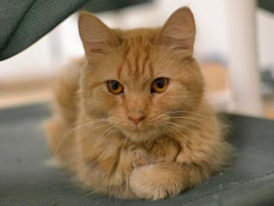 Shippo is a two-year-old male cat available at the BVSPCA New Castle shelter.