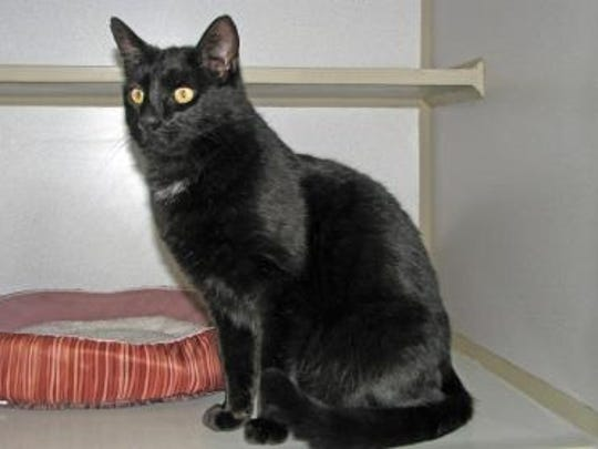 Midnight is a friendly three-year-old neutered male. He is litter box trained and enjoys being indoors and also likes to sit out on the patio on nice warm days.