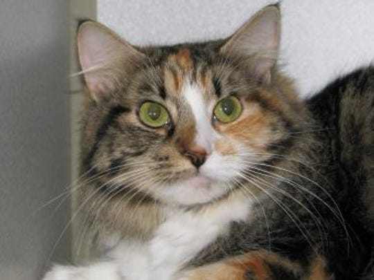 Romy is an easy-going calico who is up for adoption at the Humane Society of Lincoln County shelter on Gavilan Canyon Road.