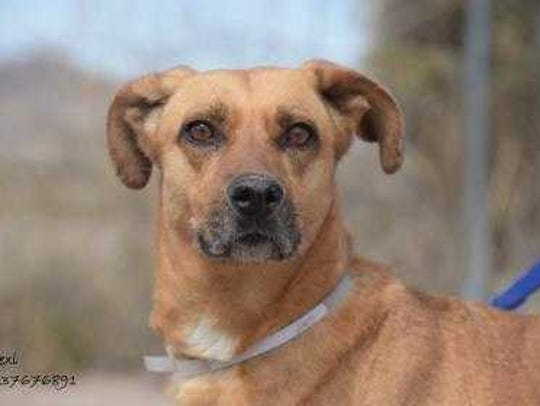 Lexi - Female (spayed) shepherd mix, about 5 years