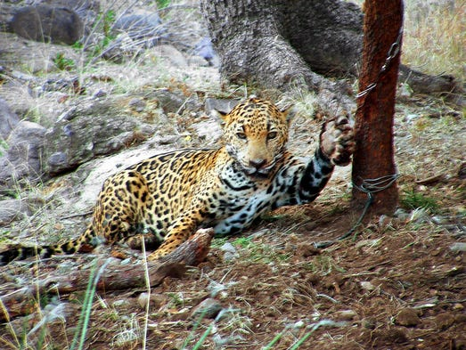 A jaguar nicknamed Macho B caught in a snare in Southern