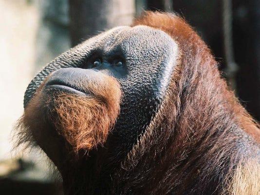 Zoo Orangutan Dies