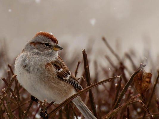 American Tree Sparrow. Photo by Renee Zernitsky