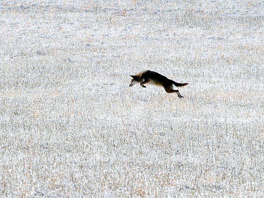 A coyote pounces on its prey in an snow covered field