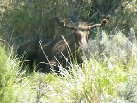 Young bull moose spotted southeast of Elko