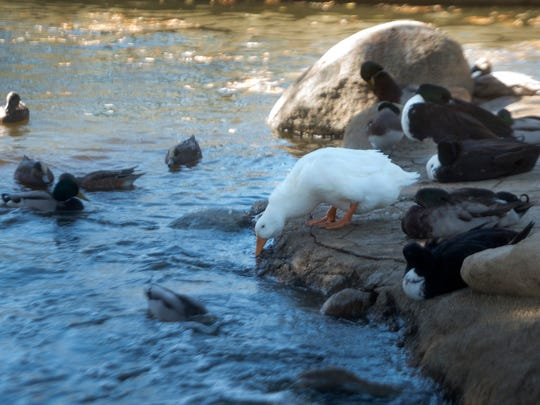 Ducks cool off in the pond at Conejo Creek Park in Thousand Oaks on Tuesday as temperatures reached record highs for a second day in a row in Ventura County.