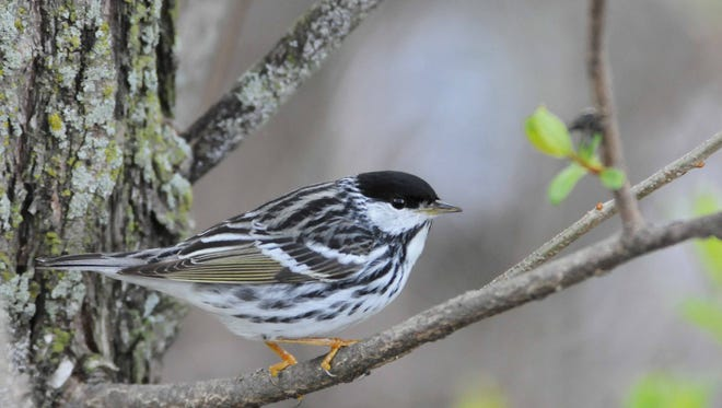 Blackpoll Warblers fly the longest and most amazing migration of any songbird, following a land route in spring from Venezuela to as far northwest as Alaska but taking a transcontinental route in fall to the East Coast, then making a three-day nonstop over-water flight to Bermuda and islands south, returning to Venezuela.