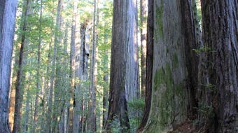 Oregon Redwoods on the southwest Oregon Coast, near Brookings.