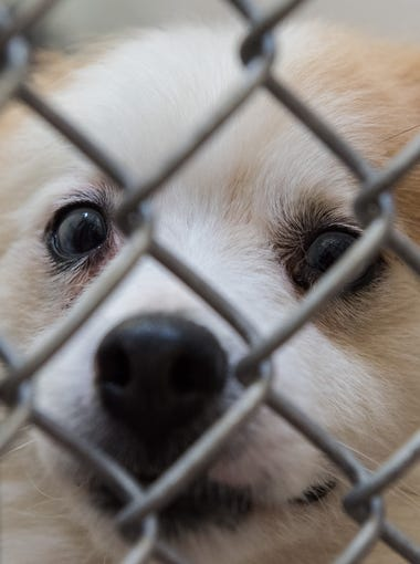 One of the 300 dogs seized in Eden looks through its kennel at the Humane Society of Wicomico County on Wednesday, April 27, 2016.
