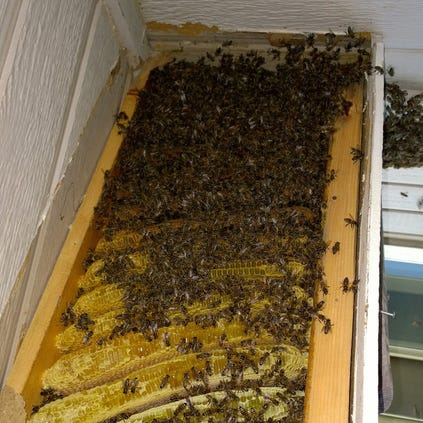 40,000 bees in a Highlands Ranch home