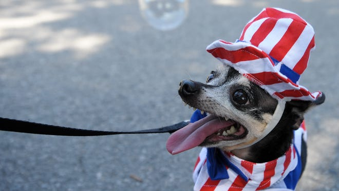 A Chihuahua celebrates the Fourth of July.