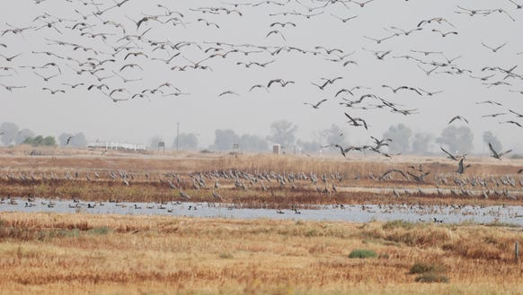 Thousands of Sandhill Cranes migrate from Alaska starting