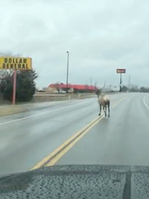 A bull elk trots down a city street in Fredericktown, Missouri, captured on video by a local church minister Aaron Proffer.