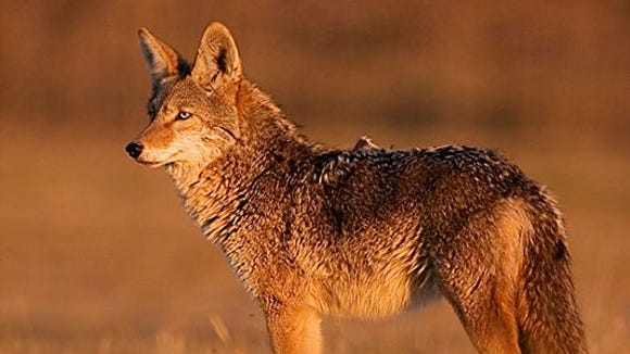During the past 30 years, coyotes have established a strong population in South Carolina, much to the detriment of the state's deer and turkey populations.