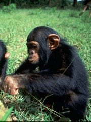 Researchers at Emory University examined chimpanzees'