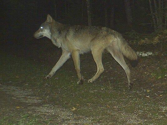 WolfDepredation,Road.jpg