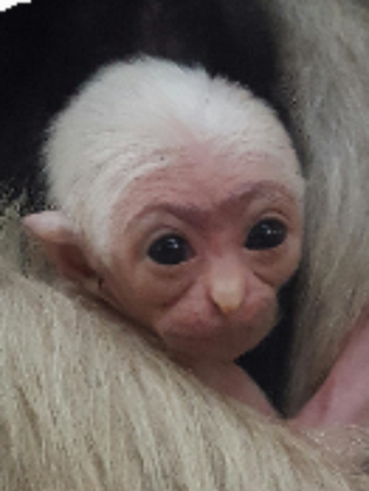 636211265176649508-636210679308457558-baby-gibbon.png