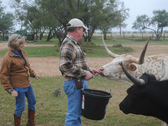 Randall and Resa Reedy feed part of the Kidd Ranch Longhorn herd.