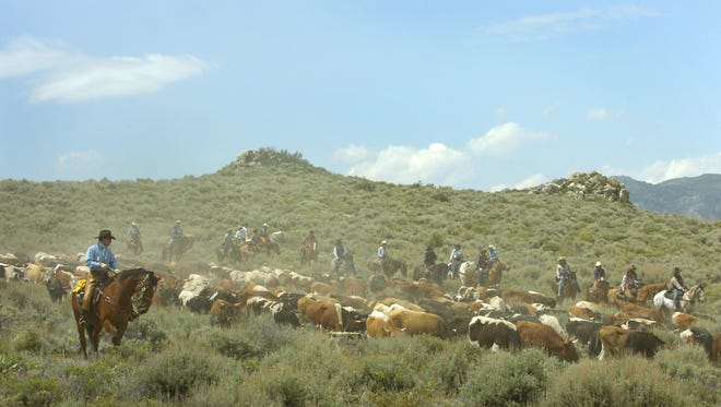 Cowboys and cattle drive guests herd roughly 400 head of  cattle through the sagebrush 100 miles over 5 days into Reno during a Reno Rodeo cattle drive. Ranching is one of many regulated uses of public land in Nevada.