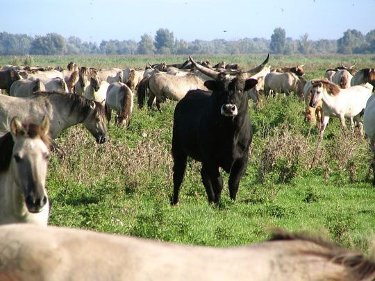 Heck bull among a herd of Konik ponies in the Dutch