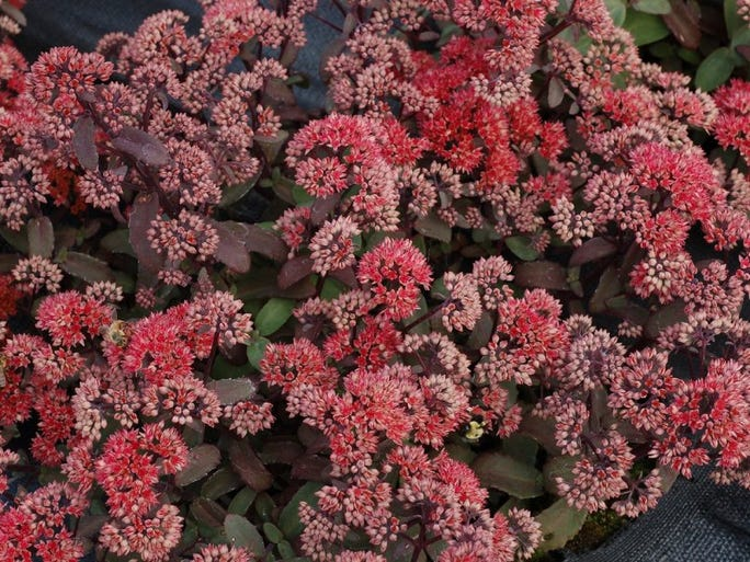 Sedum Desert Series 'Black,' 'Blonde' and 'Red' — Deep red to pink flower heads with colorful foliage.