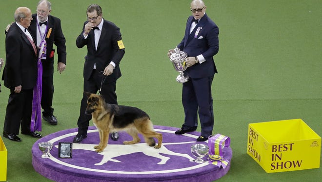 Rumor, a German shepherd, poses for pictures winning Best In Show at the 141st Westminster Kennel Club Dog Show.