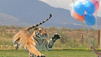 See the Tiger Splash show for free at Out of Africa Wildlife Park in Camp Verde the entire month of your birthday.