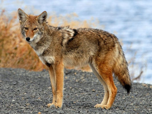 636602647929776757-Coyote-from-Commons.jpg