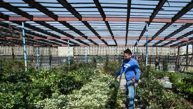 Jose Ramiez, waters Mock Orange Trees at Color Your World Garden center.