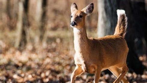 A deer running through the woods.