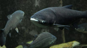Lawmakers: Barge owners hold Asian carp report hostage
