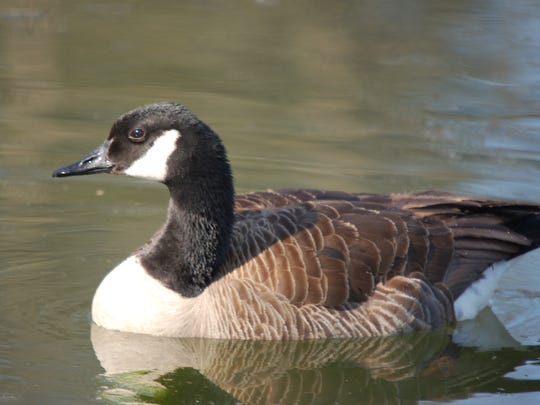 The Canada Goose is now found throughout the Poconos.