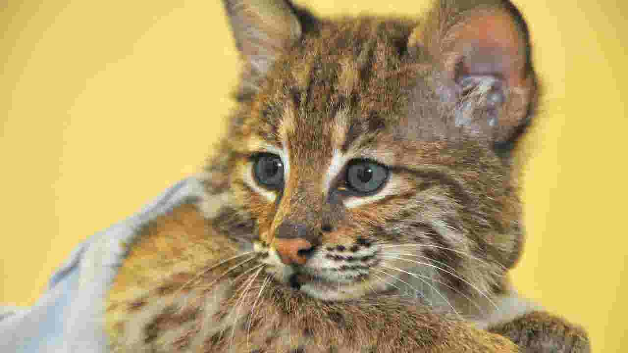Bobcat Found In Palm Bay Loses Brother Gains A Friend
