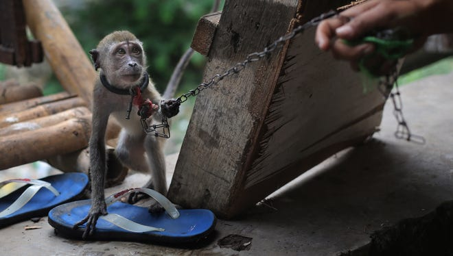 In this photo taken on Thursday, Oct. 24, 2013, a handler trains a monkey at a village where many street performers live, in Jakarta, Indonesia.
