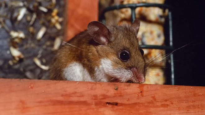 Deer mouse in bird feeder.