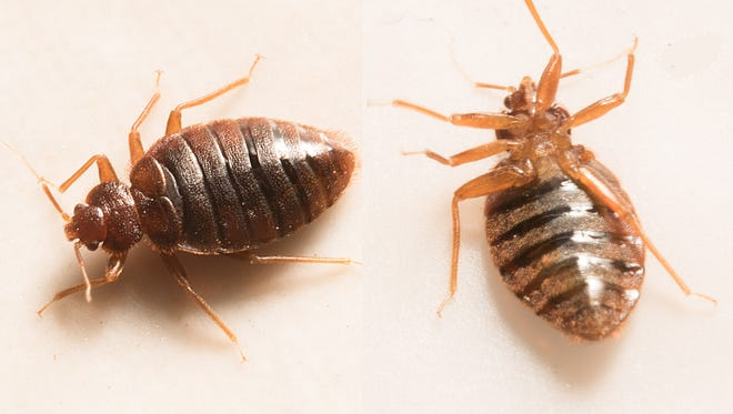 Closeup view of two bed bugs.