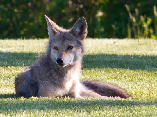 A coyote takes a rest in a Lincoln Park backyard.