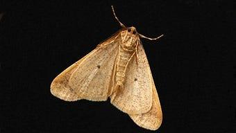 Miller moth, Colorado