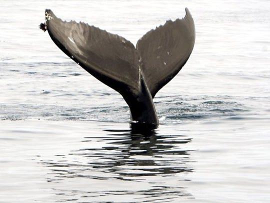 A humpback whale swims in the water off Santa Cruz
