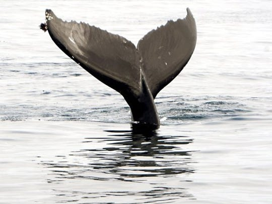 A humpback whale swims in the water off Santa Cruz Island.