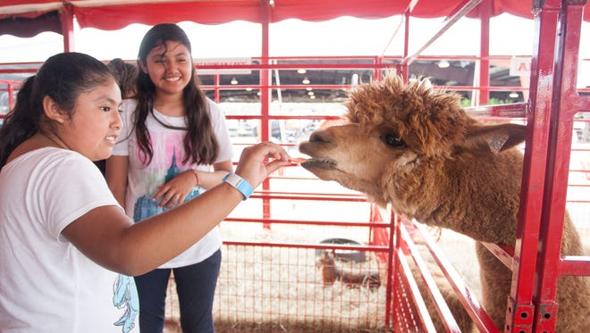 Crystal Santos, 13, of Immokolee, feeds an alpaca in the petting zoo at the Collier County Fair in Naples, FL on Sunday, March 20, 2016.  (Photo by Gregg Pachkowski/Special to the Daily News)